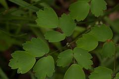 jdy123bpleplbloRbgbYardeloBgr3EgrXX20110503B0197.jpg (rachelgreenbelt) Tags: ghigreenbelthomesinc usa thalictrum colorswhiteyellowgreen greenbelt northamerica midatlanticregion ouryard orderranunculales eudicots familyranunculaceae colorgreen maryland americas thalictrumall magnoliophyta floweringplants ranunculaceae ranunculaceaefamily ranunculales ranunculalesorder spermatophytes