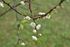 DSC_3783 (tsay.raymond) Tags: 柳家梅園 plumblossom