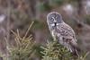 Nobody is perfect (jrlarson67) Tags: great gray grey owl saxzim minnesota raptor bird strix nebulosa chouette lapone