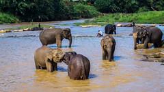 friendship (tattie62) Tags: elephants srilanka pinnawala friends orphans playing fun happy friendship bathing elephantorphanage