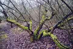 Quittenbaum (Lilith-Luana) Tags: quitten baum natur landschaft kalt laub quittenbaum quittenpfad astheim main wandern