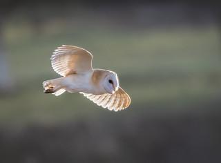 A Barn owl fly by