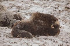 Wore out Calf (Dan King Alaskan Photography) Tags: muskox muskoxen ovibosmoschatus tundra snow spring prudhoebay alaska canon50d sigma80400mm