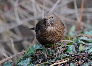 Eurasian Blackbird DSC_3349