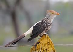 Anu-branco / Guira Cuckoo (anacm.silva) Tags: anubranco guiracuckoo ave bird wild wildlife nature natureza naturaleza birds aves pantanal brasil brazil guiraguira ngc coth5