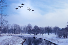 Takeoff (Conal Gallagher) Tags: geese canadian dawn morning river canadiangeese
