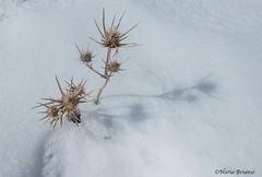 hivern (nuri_bri) Tags: ripolles neu snow nieve hivern invierno winter pirineos pirineudegirona eryngium cardoazul eryngiumburgatii cardo es valldenúria