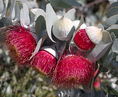 Eucalyptus macrocarpa ssp elachantha, Kings Park, Perth, WA, 20/11/17 (Russell Cumming) Tags: plant eucalyptus eucalyptusmacrocarpa eucalyptusmacrocarpaelachantha myrtaceae kingspark perth westernaustralia