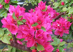 Bougainvillea Raindrops! ('cosmicgirl1960' NEW CANON CAMERA) Tags: flowers worldflowers nature parks gardens marbella spain espana andalusia costadelsol travel holidays green yabbadabbadoo red