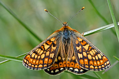 Euphydryas aurinia - the Marsh Fritillary (BugsAlive) Tags: butterfly butterflies mariposa papillon farfalla schmetterling бабочка animal outdoor insects insect lepidoptera macro nature nymphalidae euphydryasaurinia marshfritillary nymphalinae wildlife wiltshire cotleyhill warminster liveinsects uk