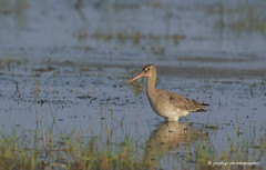 Black-tailed Godwit (joydipmukherjee1969) Tags: wildlife wild wings birds nature nikon photography wetland