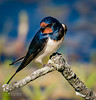 #Swallow #hirundo #rustica on branch (m3dborg) Tags: swallow hirundo rustica beautiful beauty bird birds avian feathers wildlife wilderness wing blue red white branch outdoor outdoors naturum hornborgasjön nature natural skara bokeh