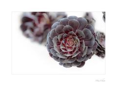 Gritty Or Pretty? (Meu :-)) Tags: onpurewhite smileonsaturday blackaeonium darkpurple rosettes highkey aeoniumarboreum'zwartkop' aeonium crassulaceae soft nature succulent plant