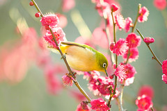 Perching on the Spring Branch (moaan) Tags: kobe hyogo japan jp bird japanesewhiteeye perch ume umeblossom blossoming inblossom dof depthoffiled bokeh bokehphotography canoneos7dmarkii ef70200mmf28lisiiusm utata 2018