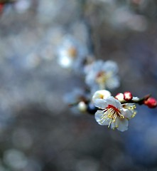 A sign of spring (photoholic image) Tags: plumblossoms flower nature bokeh earlyspring stem tree