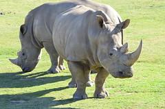 DSC_4375 (Andrew Nakamura) Tags: animal mammal rhino rhinoceros whiterhinoceros southernwhiterhinoceros southernwhiterhino sandiegozoosafaripark safaripark escondido
