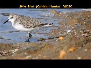 Little Stint (Calidris minuta) 11-01-2018