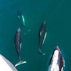 Dall's Porpoise in the Bow Wave (Photoski141) Tags: bccanada southboundtransit dallsporpoise