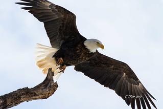 IMG_7545 american bald eagle