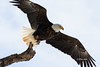 IMG_7545 american bald eagle (starc283) Tags: starc283 wildlife raptor eagle americanbaldeagle baldeagle bird birding birds winter flickr flicker canon canon7d outdoors outdoor
