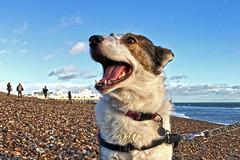 Lina on the Beach (Jainbow) Tags: lina beach southsea portsmouth sea jainbow rescuedog romanianrescuedog adoptdontshop