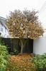 Soon Be Bare (Jocey K) Tags: newzealand nikond750 southisland christchurch tree autumn leaves pots fence garden