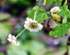 Blüten des Mutterkrautes, NGID1647755315 (naturgucker.de) Tags: ngid1647755315 naturguckerde mutterkraut tanacetumparthenium 915119198 249020854 1962332845 cboriskarlholgerschnebele