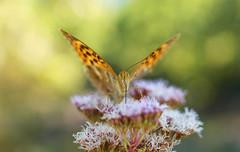 Tout en douceur (leathomson83) Tags: papillon tabac rose bokeh provence