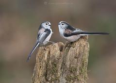 Long-tailed Tit Pair 16th January (Gavin Vella) Tags: longtailed tits bird birds birdpose birdpair canon7dmkii canon300mm28is