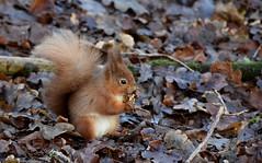 Red Squirrel (Clare_leeloo) Tags: redsquirrel squirrel nature wildlife mammals isleofwight