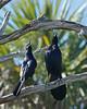 Boat-tailed Grackle (Quiscalus major) (Mary Keim) Tags: taxonomy:binomial=quiscalusmajor centralflorida marykeim orlandowetlandspark