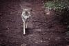 Wolf. (Markus Moning) Tags: feldkirch vorarlberg österreich at markusmoning moning canon eos 5d mark ii 70200mm 28 wolf wildpark austria nature natur wild park ardetzenberg animal wildtier