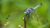 Blue ground skimmer (asheshr) Tags: diplacodestrivialis beautifudragonfly beautifulmacro bluegroundskimmer chalkypercher d7200 depthoffield dof dragonfliesofindia dragonfliesofodisha dragonfliesoforissa dragonfly dragonflycloseup dragonflymacro macro macrophotography nikkor nikon nikond7200