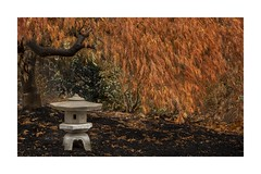 Japanese Maple (sorrellbruce) Tags: garden gardening japanesemaple softlight