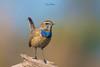 Curiosity ( Bluethroat ) (Irtiza Bukhari) Tags: irtizabukhari nature beauty details colors one bird wildbird wildlifeofpakistan beautyofpakistan beautiful birdsofpakistan bokeh pakistan bluethroat wwf bukhari irtiza