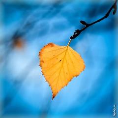 Golden leaf ... (N.Batkhurel) Tags: leaf leaves yellow mongolia macro closeup trees season autumn ngc nikon nikondf 105mm