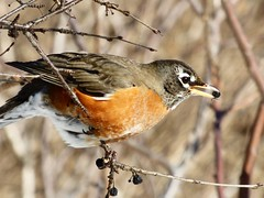 Yum! (mrsparr) Tags: americanrobin robin bird tree berries winter humberbayparkeastpeninsula toronto ontario canada outside outdoors outdoorphotography nature natur