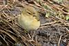 194.jpg (Kico Lopez) Tags: phylloscopuscollybita miño lugo spain rio birds mosquiterocomún galicia aves