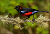 Scarlet-bellied Mountain-Tanager (Anisognathus igniventris) (Glenn Bartley - www.glennbartley.com) Tags: andes animal animalia animals aves avian bird birdwatching birds colombia glennbartley nature neotropical scarletbelliedmountaintanageranisognathusigniventris southamerica wildlife