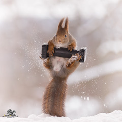 red squirrel jumping with a weight (Geert Weggen) Tags: animal backlit bright cheerful closeup cute humor ice looking mammal nature photography red rodent smiling snow sport squirrel sweden winter wintersport woodmaterial square cold redsquirrel acrobat balance round ball olympic weightlifting weighttraining bodybuilding athleticdiscipline collars barbell bumperplates kilo iron bispgården jämtland geertweggen geertweggenhardekozweden ragunda