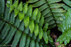 TG Feb2018 1_0035 (Mary D'Elia) Tags: florida ftlauderdale ferns garden nature rain tropical water