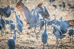 Sandhill Crane: 'I'm alpha' ♂︎ (sniggie) Tags: sandhillcrane hardincounty kentucky kos bird antigonecanadensis gruidaefamily cornfield farm migration
