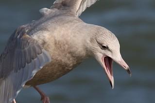 Glaucous Gull (Larus hyperboreus) A very pale Juvenile !