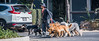 2018 - Mexico City - Walking the Dogs (Ted's photos - For Me & You) Tags: 2018 cdmx cityofmexico cropped mexico mexicocity nikon nikond750 nikonfx tedmcgrath tedsphotos tedsphotosmexico vignetting crv dogwalker dogs vehicle honda hondacrv backpack leash leashes shadow shadows streetscene street people peopleandpaths red redrule wideangle widescreen mexicocitydogwalker mexicocitydogwalkingservice dogwalking walkingthedog paws feet strolling pets petdogs pack packofdogs collar shaggydog