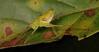 Katydid Nymph (Mirollia sp., Phaneropterinae, Tettigoniidae) (John Horstman (itchydogimages, SINOBUG)) Tags: insect macro china yunnan itchydogimages sinobug entomology katydid bush cricket orthoptera tettigoniidae phaneropterinae canon fb tumblr