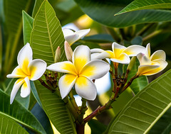 Yellow and White Frangipani Flowers (Merrillie) Tags: frangipani woywoy flowers closeup floral newsouthwales nsw summer beautiful flower gardens flora australia nature frangipanis yellow tropical coastal