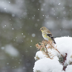 Goldfinch in the Snow (Bud in Wells, Maine) Tags: birds snow goldfinch bokeh