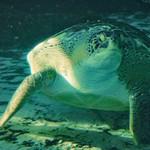 Green sea turtle thumbnail