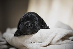 Male 5 ( CH Kaos Invicta x CH Vasco del Nostro Destino ) (Katarina Drezga) Tags: canecorso puppy puppies cute dogs dogphotography petphotography pets nikond750 tamron70200vcg2 animals dog