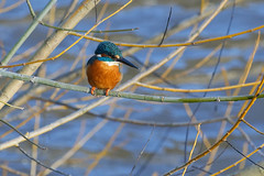Martin-pêcheur d'Europe - Alcedo atthis - Common Kingfisher (Alain-46) Tags: martinpêcheurdeurope alcedoatthis commonkingfisher coraciiformes alcédinidés coth5